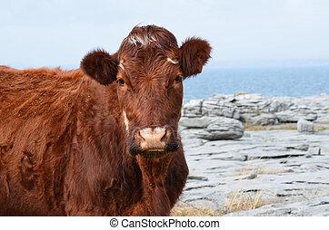 Beautiful Brown Cow on the Burren in Ireland - Beautiful...