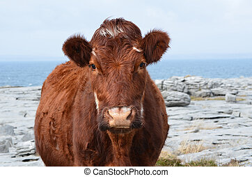 Adorable Brown Cow Standing on The Burren - Cow standing on...