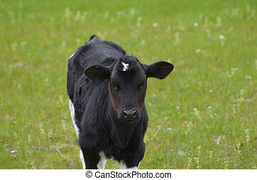 Black and White Calf Standing in a Field