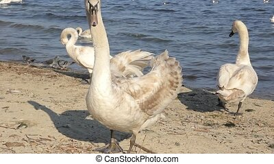 mute swan on a sand beach closeup, wild bird - mute swan on...