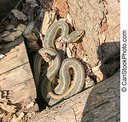 Eastern Garter Snake basking coiled in the sun among logs...