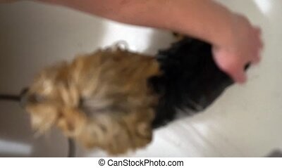wash a Yorkshire Terrier. Care for dogs in grooming salons