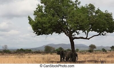 Elephants Under Tree Shade in Tanzania