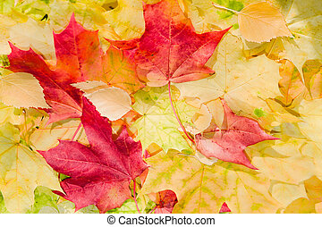 Maple leaves in beautiful autumn colours - Maple leaves in...