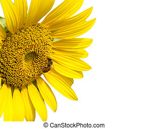 Bee on sunflower and isolated on white background