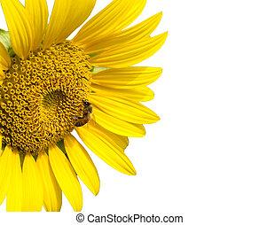 abelha, girassol, isolado, branca, fundo
