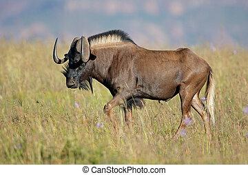 Black wildebeest in grassland - Male black wildebeest...