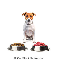 jack russel with food isolated on white background