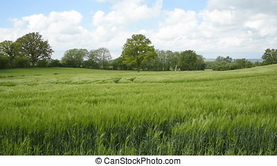 Barley field panning video - Panning footage of a field of...