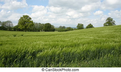 Field of Crops - Footage of a lush green field of barley...