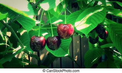 ripe fruits red cherry among green leaves on the tree -...