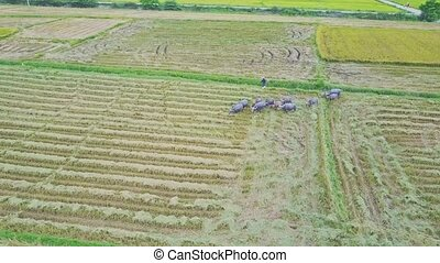 Drone Removes Far from Buffaloes Herd on Ploughed Field -...