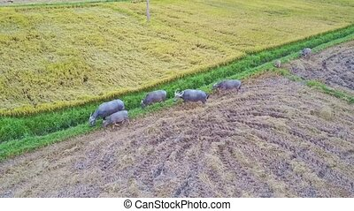 Drone Flies above Grey Buffaloes Walking along Rice Field -...