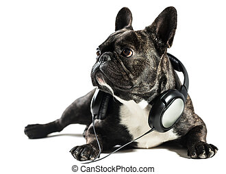 French bulldog in headphones on white isolated background