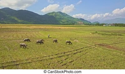 Flycam Moves above Buffalo Herd on Rice Field by Mountains -...