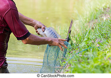 close-up Thai fisherman holding Tilapia fish into the green...