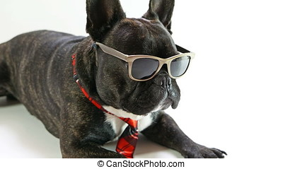 dog breed French Bulldog in glasses
