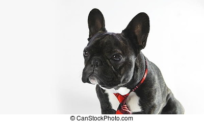 dog breed French bulldog sitting and looking