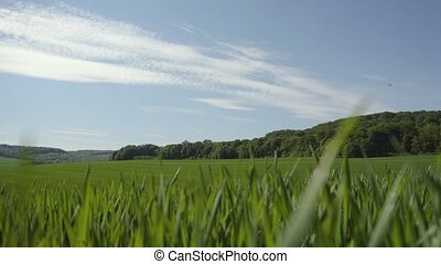 FIeld of Young Green Wheat - Beautiful landscape view, wide...