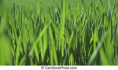 Green Wheat Field - Field of young green wheat leaves,...