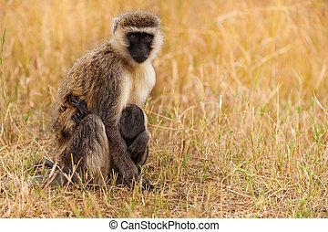 Vervet monkey feeding baby in dry grass of savanna