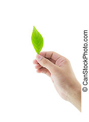 Hand holding green leaf isolated on white background with clipping part.