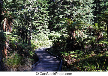 Redwoods forests in Rotorua New Zealand - Landscape of...