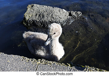 Wild Baby Black Swan swim in Western Springs park in...