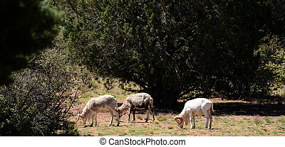 Dall Rams - Dall rams mountain sheep feeding in mountain...