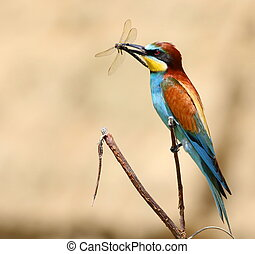 european bee-eater with prey dragonfly (Merops Apiaster)