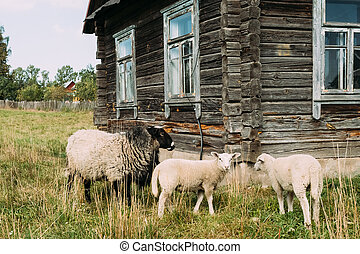 Sheep Grazing On Grass Near Old Russian Traditional Wooden...