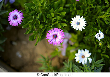 Osteospermum - Beautiful Osteospermum flowers close-up with...