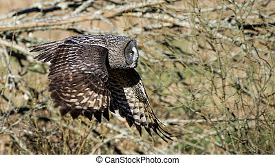 Great Grey Flying - The Great Grey Owl (Strix Nebulosa)...