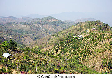 Tea plantations in the highlands