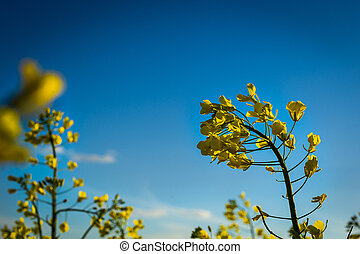 Rapeseed field, Blooming canola flowers close up. Rape on...