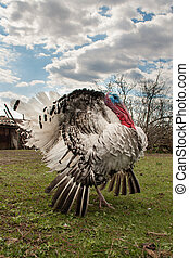 turkey male or gobbler closeup on the blue sky background.