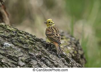 Yellowhammer perched on a tree trunk