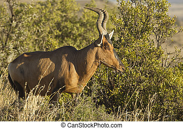 Red Hartebeest in early morning sunlight