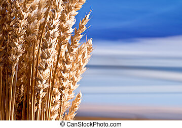 Sheaf Of What On The Blue Sky - Sheaf Of Wheat On The Blue...