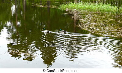 Ducks on walk floating in the pond water. FHD stock footage