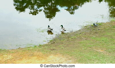 Ducks on walk floating in the pond water. FHD stock footage.
