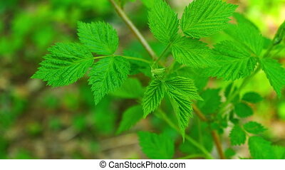 Raspberry leaves swaying in the wind in the spring forest....