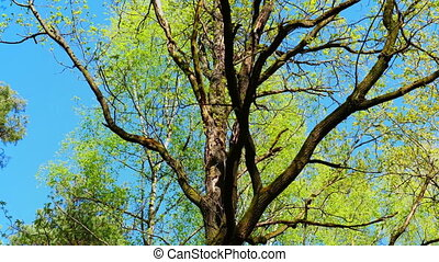 European mixed forest. Tops of the trees. Looking up to the canopy. FHD stock footage.