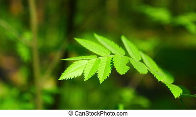 Rowan leaves swaying in the wind in the spring forest. FHD...