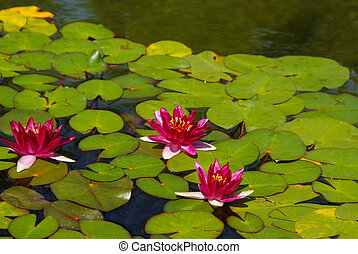 Red water lilies in full bloom with pads in pond.