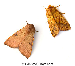 Two Moths - Bent-line Dart (Choephora fungorum) and Bordered...