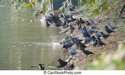 Crows on the river bank. Slow motion Close up.