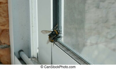 Bumblebee on the window