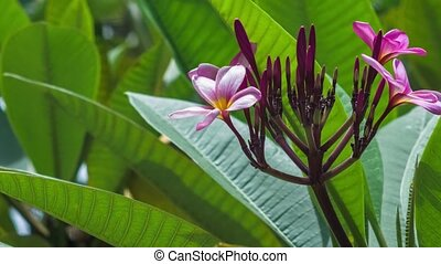 Bright petals and stems of pink blossoming plumeria flower....