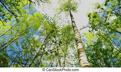 European mixed forest. Tops of the trees. Looking up to the...